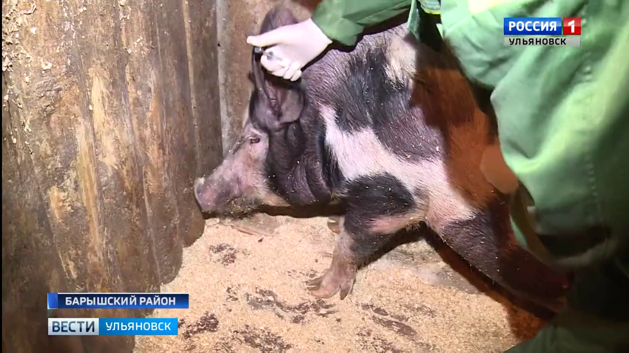 Более 30 свиней уничтожили